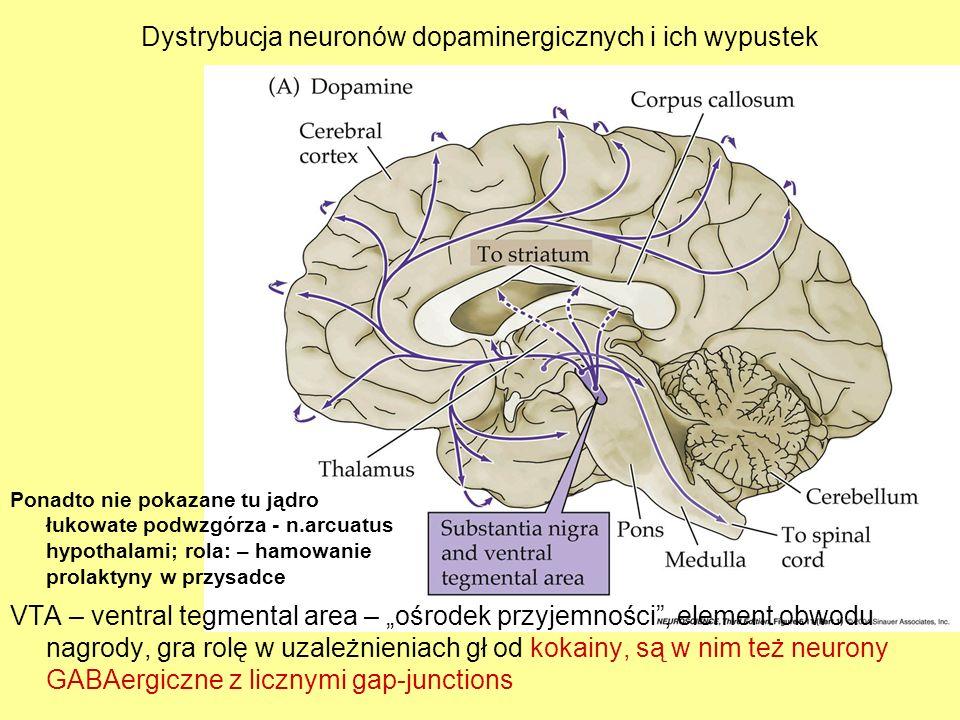 Dystrybucja neuronów dopaminergicznych i ich wypustek VTA – ventral tegmental area – ośrodek przyjemności, element obwodu nagrody, gra rolę w uzależni