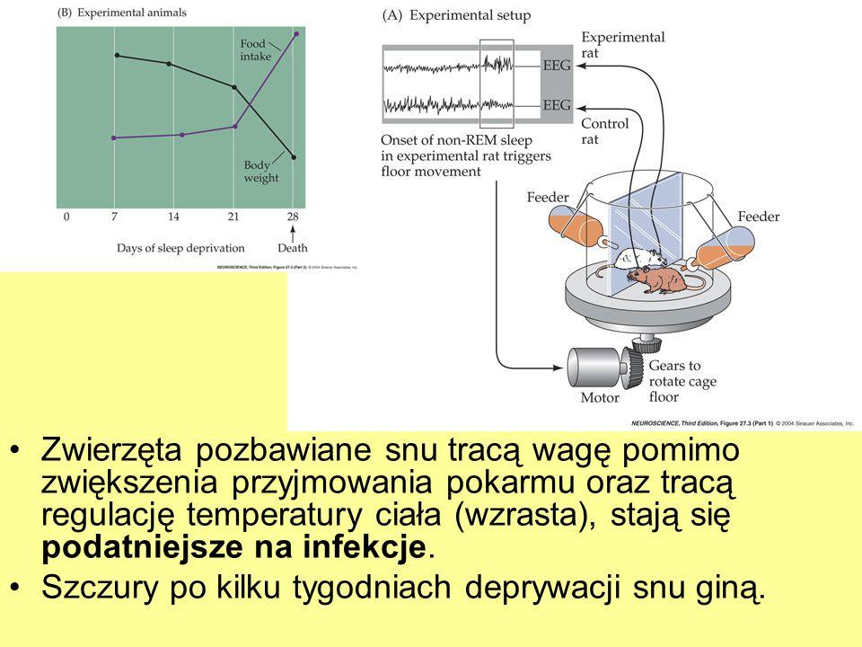 Zwierzęta pozbawiane snu tracą wagę pomimo zwiększenia przyjmowania pokarmu oraz tracą regulację temperatury ciała (wzrasta), stają się podatniejsze n
