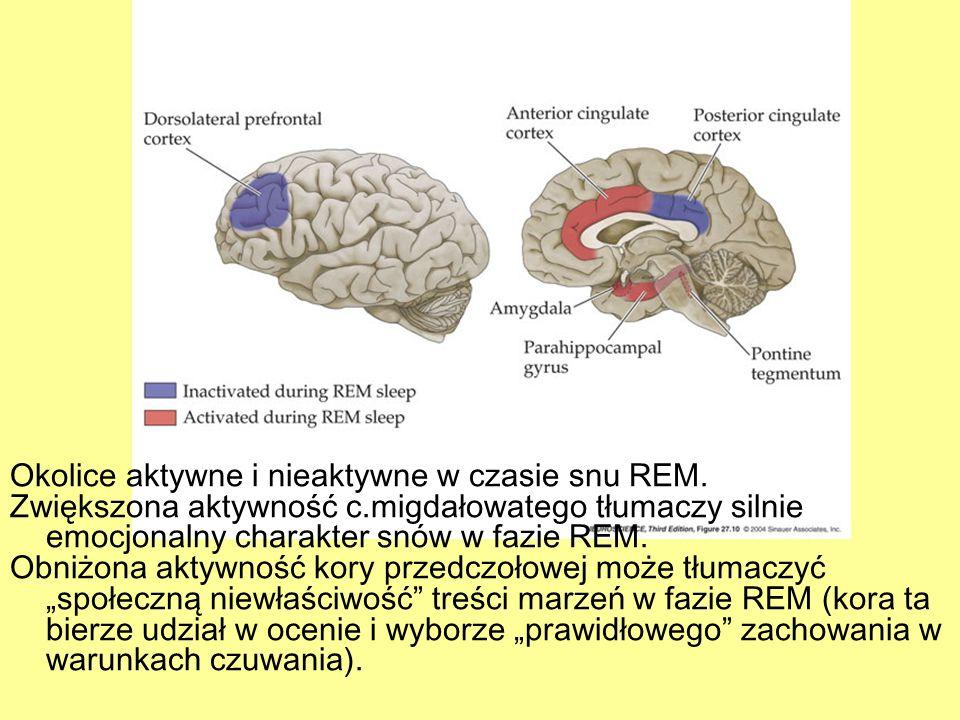 Okolice aktywne i nieaktywne w czasie snu REM. Zwiększona aktywność c.migdałowatego tłumaczy silnie emocjonalny charakter snów w fazie REM. Obniżona a