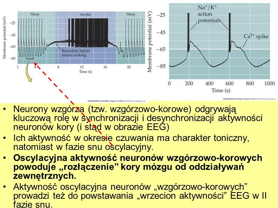 Neurony wzgórza (tzw. wzgórzowo-korowe) odgrywają kluczową rolę w synchronizacji i desynchronizacji aktywności neuronów kory (i stąd w obrazie EEG) Ic