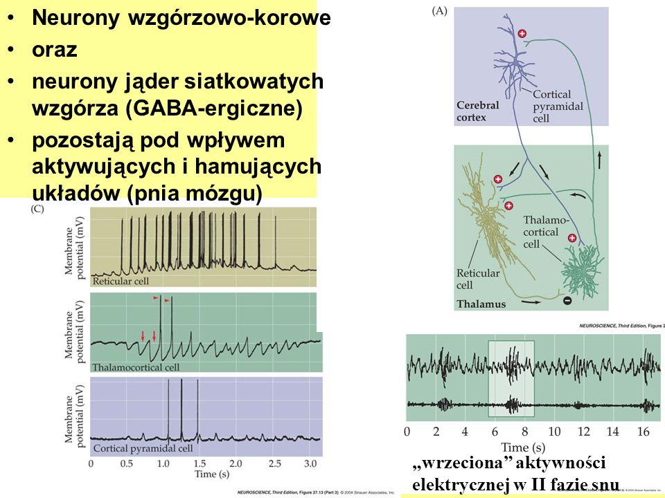 Neurony wzgórzowo-korowe oraz neurony jąder siatkowatych wzgórza (GABA-ergiczne) pozostają pod wpływem aktywujących i hamujących układów (pnia mózgu)