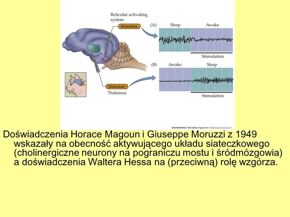 Doświadczenia Horace Magoun i Giuseppe Moruzzi z 1949 wskazały na obecność aktywującego układu siateczkowego (cholinergiczne neurony na pograniczu mos