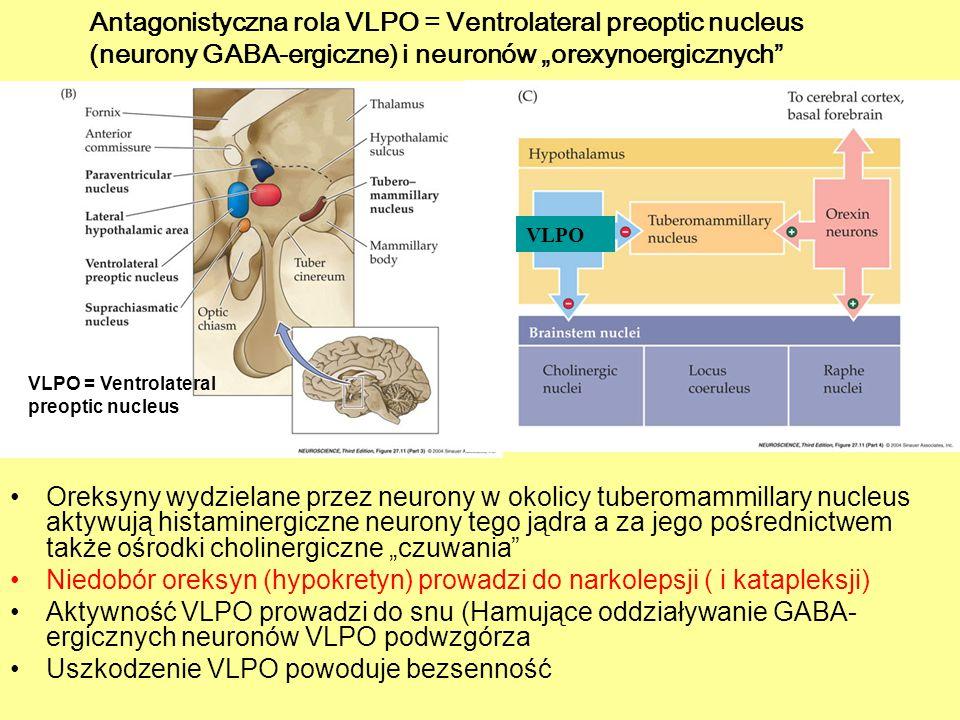 Oreksyny wydzielane przez neurony w okolicy tuberomammillary nucleus aktywują histaminergiczne neurony tego jądra a za jego pośrednictwem także ośrodk
