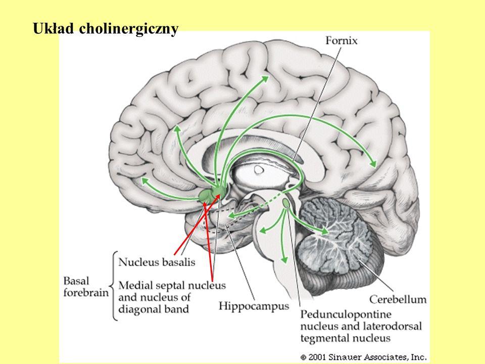 Serotonina (5-HT) Główny ośrodek serotoninergiczny: jądra szwu pnia mózgu (n.raphe) Bierze udział w regulacji snu i czuwania Aktywacja receptorów serotoniny powoduje m.in.