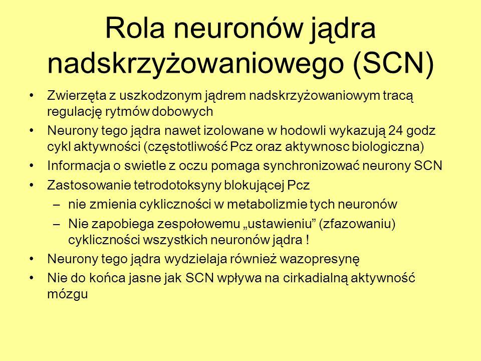 Rola neuronów jądra nadskrzyżowaniowego (SCN) Zwierzęta z uszkodzonym jądrem nadskrzyżowaniowym tracą regulację rytmów dobowych Neurony tego jądra naw