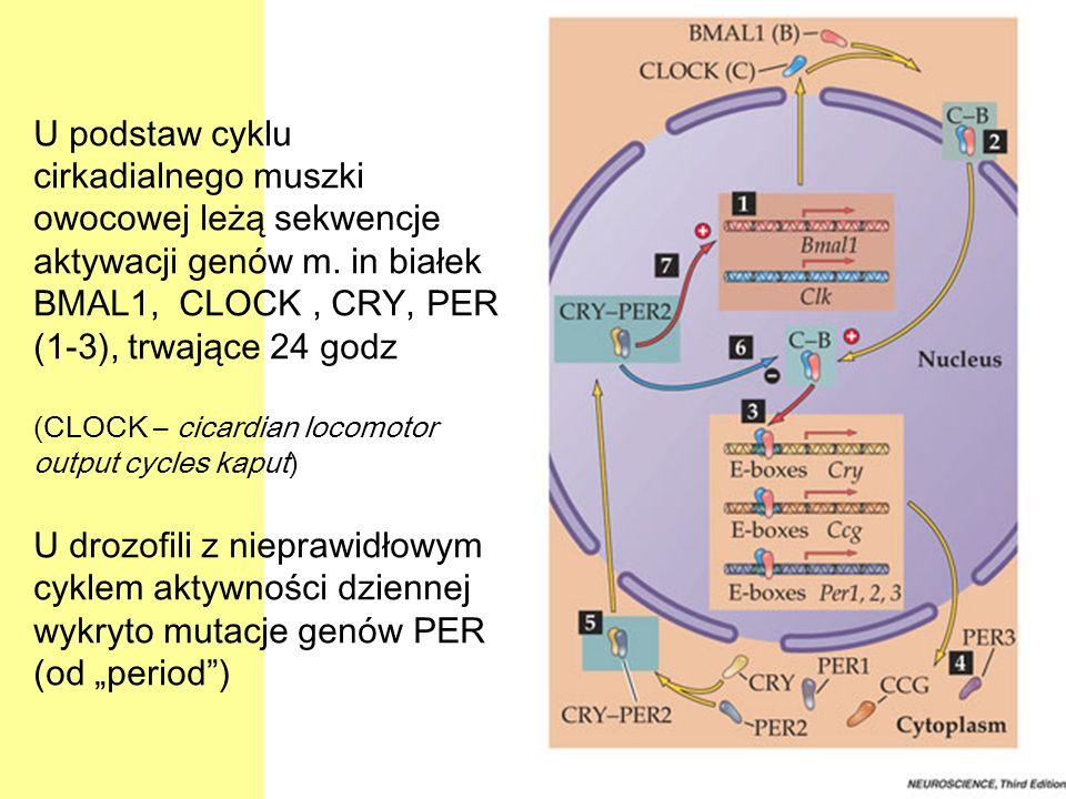 U podstaw cyklu cirkadialnego muszki owocowej leżą sekwencje aktywacji genów m. in białek BMAL1, CLOCK, CRY, PER (1-3), trwające 24 godz (CLOCK – cica
