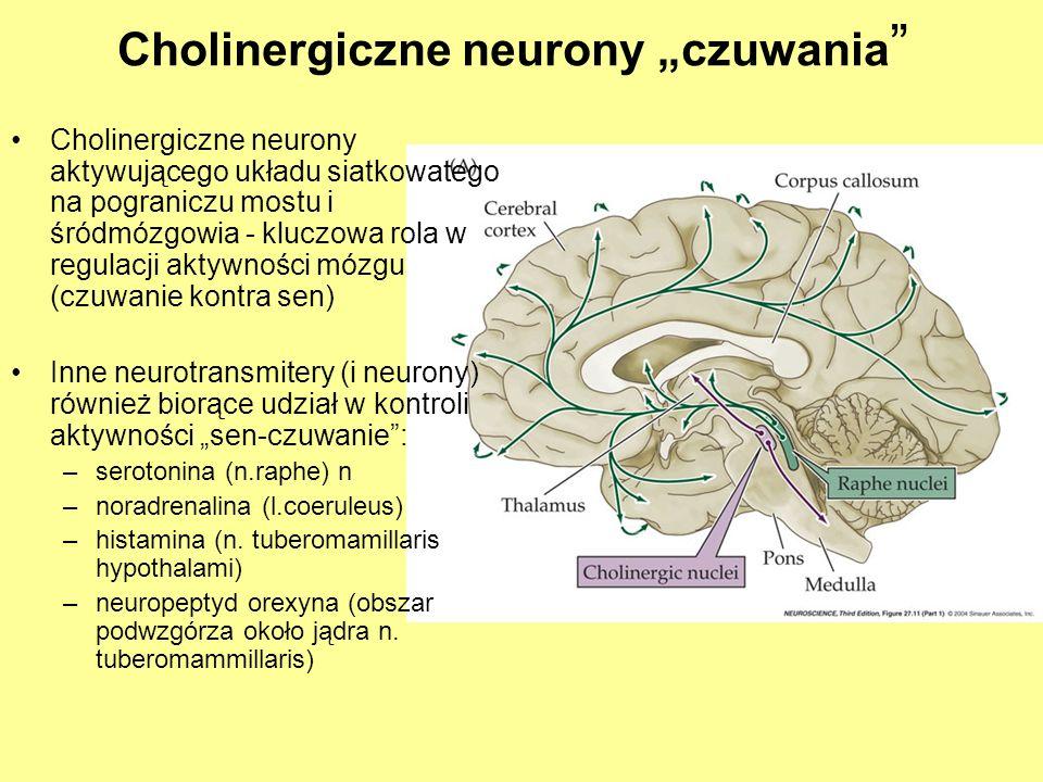 Oreksyny wydzielane przez neurony w okolicy tuberomammillary nucleus aktywują histaminergiczne neurony tego jądra a za jego pośrednictwem także ośrodki cholinergiczne czuwania Niedobór oreksyn (hypokretyn) prowadzi do narkolepsji ( i katapleksji) Aktywność VLPO prowadzi do snu (Hamujące oddziaływanie GABA- ergicznych neuronów VLPO podwzgórza Uszkodzenie VLPO powoduje bezsenność Antagonistyczna rola VLPO = Ventrolateral preoptic nucleus (neurony GABA-ergiczne) i neuronów orexynoergicznych VLPO = Ventrolateral preoptic nucleus VLPO