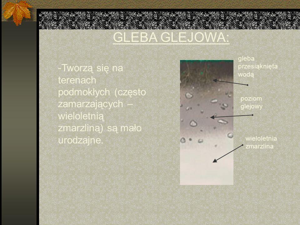 GLEBA GLEJOWA: -Tworzą się na terenach podmokłych (często zamarzających – wieloletnią zmarzliną) są mało urodzajne.