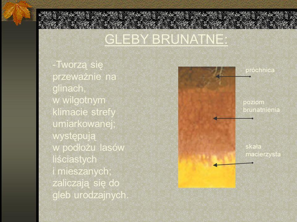 GLEBY BRUNATNE: -Tworzą się przeważnie na glinach, w wilgotnym klimacie strefy umiarkowanej; występują w podłożu lasów liściastych i mieszanych; zaliczają się do gleb urodzajnych.
