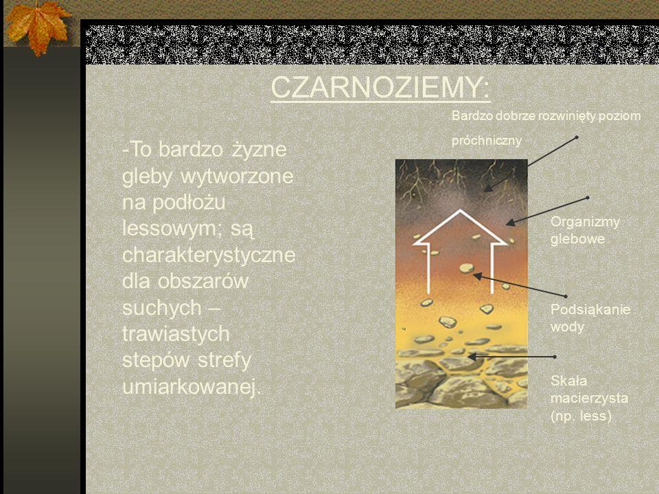 CZARNOZIEMY: -To bardzo żyzne gleby wytworzone na podłożu lessowym; są charakterystyczne dla obszarów suchych – trawiastych stepów strefy umiarkowanej.