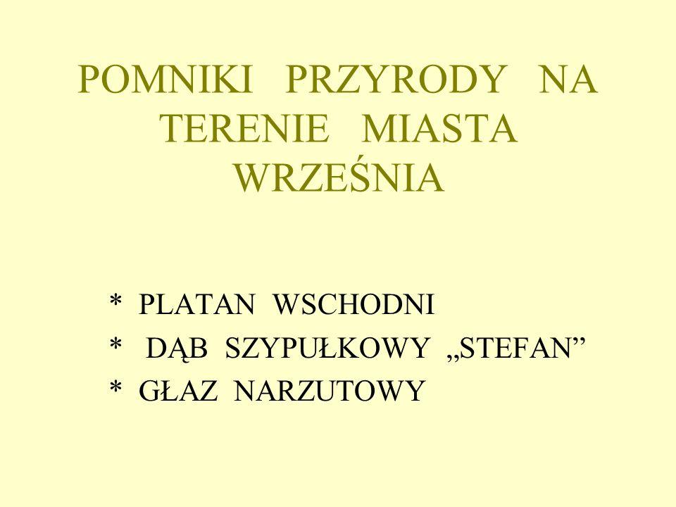 - POMNIK PRZYRODY PLATAN WSCHODNI