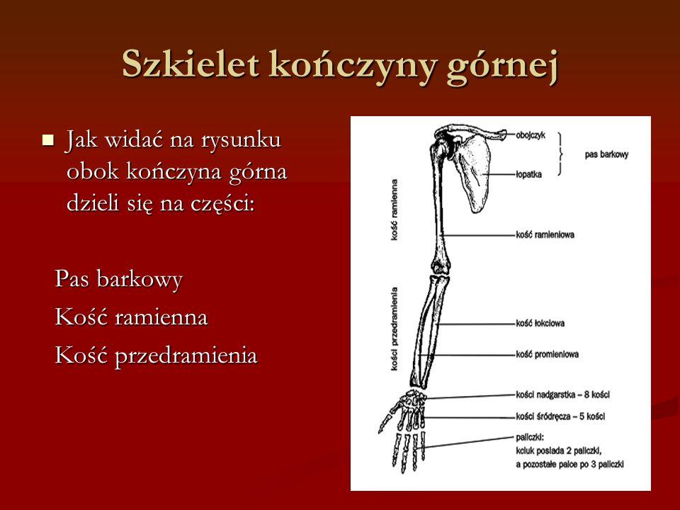Szkielet kończyny górnej Jak widać na rysunku obok kończyna górna dzieli się na części: Jak widać na rysunku obok kończyna górna dzieli się na części: Pas barkowy Pas barkowy Kość ramienna Kość ramienna Kość przedramienia Kość przedramienia