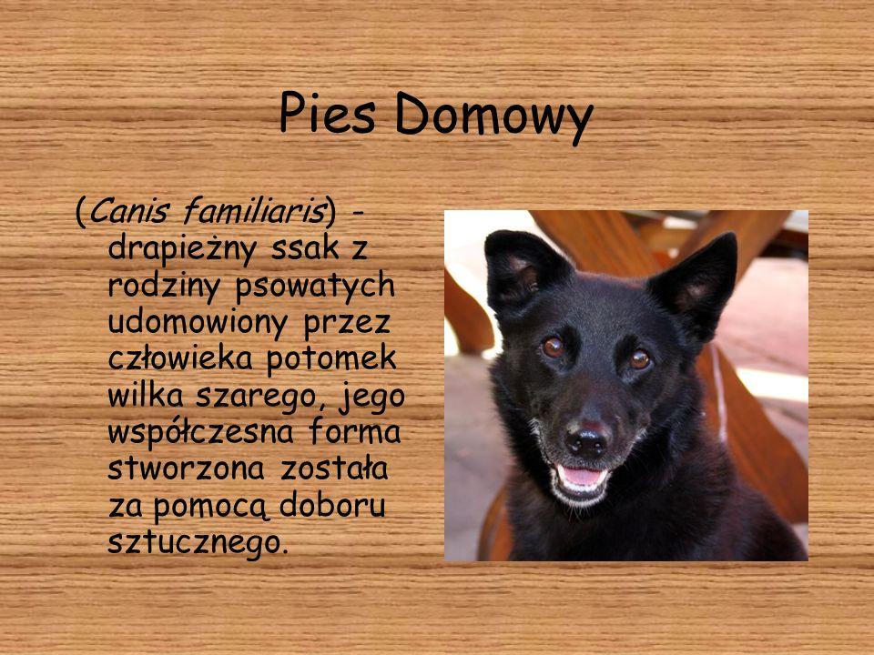 Pies Domowy (Canis familiaris) - drapieżny ssak z rodziny psowatych udomowiony przez człowieka potomek wilka szarego, jego współczesna forma stworzona