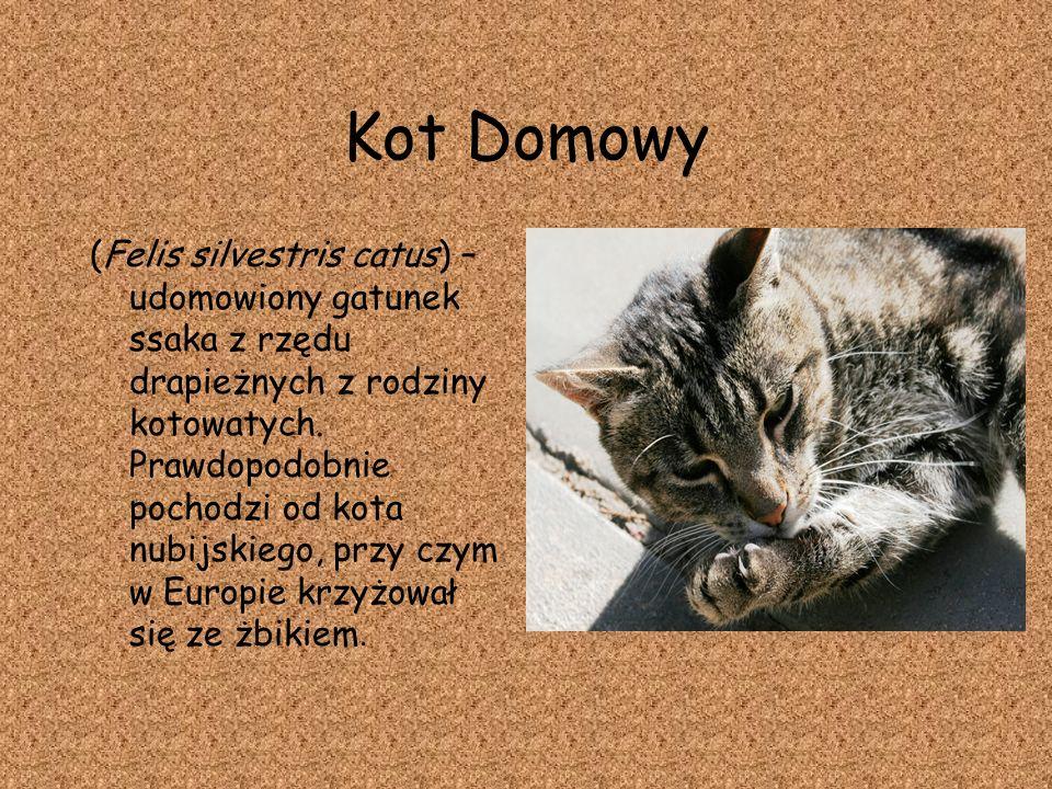 Kot Domowy (Felis silvestris catus) – udomowiony gatunek ssaka z rzędu drapieżnych z rodziny kotowatych. Prawdopodobnie pochodzi od kota nubijskiego,