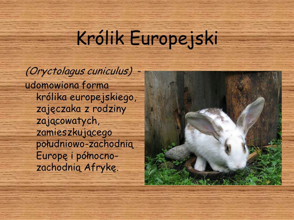 Królik Europejski (Oryctolagus cuniculus) - udomowiona forma królika europejskiego, zajęczaka z rodziny zającowatych, zamieszkującego południowo-zacho
