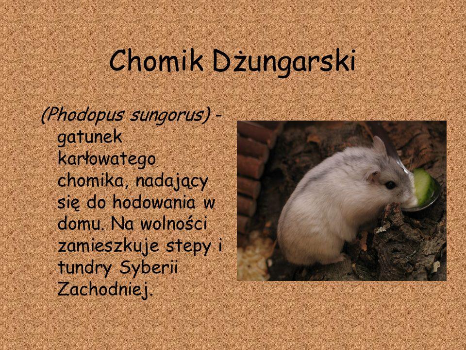 Chomik Dżungarski (Phodopus sungorus) - gatunek karłowatego chomika, nadający się do hodowania w domu. Na wolności zamieszkuje stepy i tundry Syberii