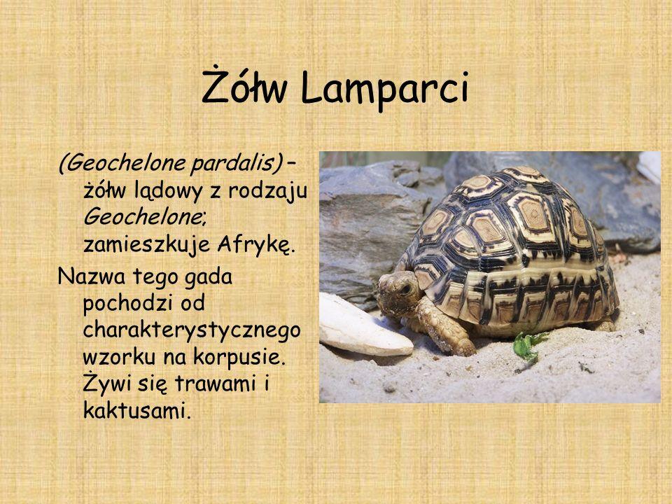 Żółw Lamparci (Geochelone pardalis) – żółw lądowy z rodzaju Geochelone; zamieszkuje Afrykę. Nazwa tego gada pochodzi od charakterystycznego wzorku na