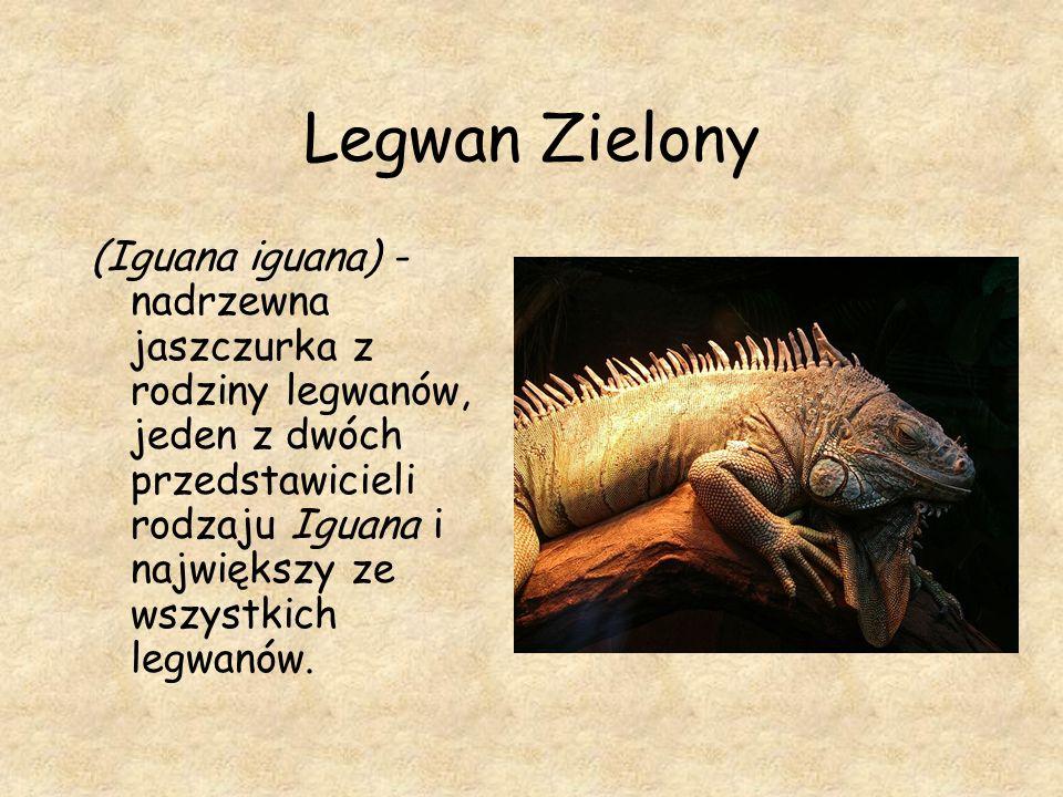 Legwan Zielony (Iguana iguana) - nadrzewna jaszczurka z rodziny legwanów, jeden z dwóch przedstawicieli rodzaju Iguana i największy ze wszystkich legw
