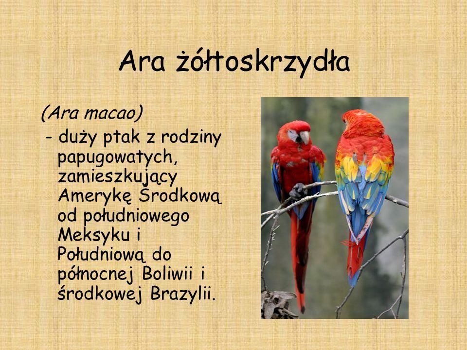 Ara żółtoskrzydła (Ara macao) - duży ptak z rodziny papugowatych, zamieszkujący Amerykę Środkową od południowego Meksyku i Południową do północnej Bol