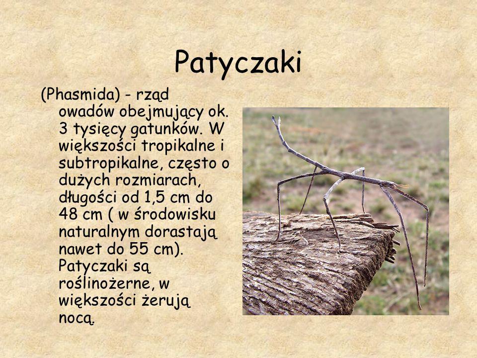 Patyczaki (Phasmida) - rząd owadów obejmujący ok. 3 tysięcy gatunków. W większości tropikalne i subtropikalne, często o dużych rozmiarach, długości od