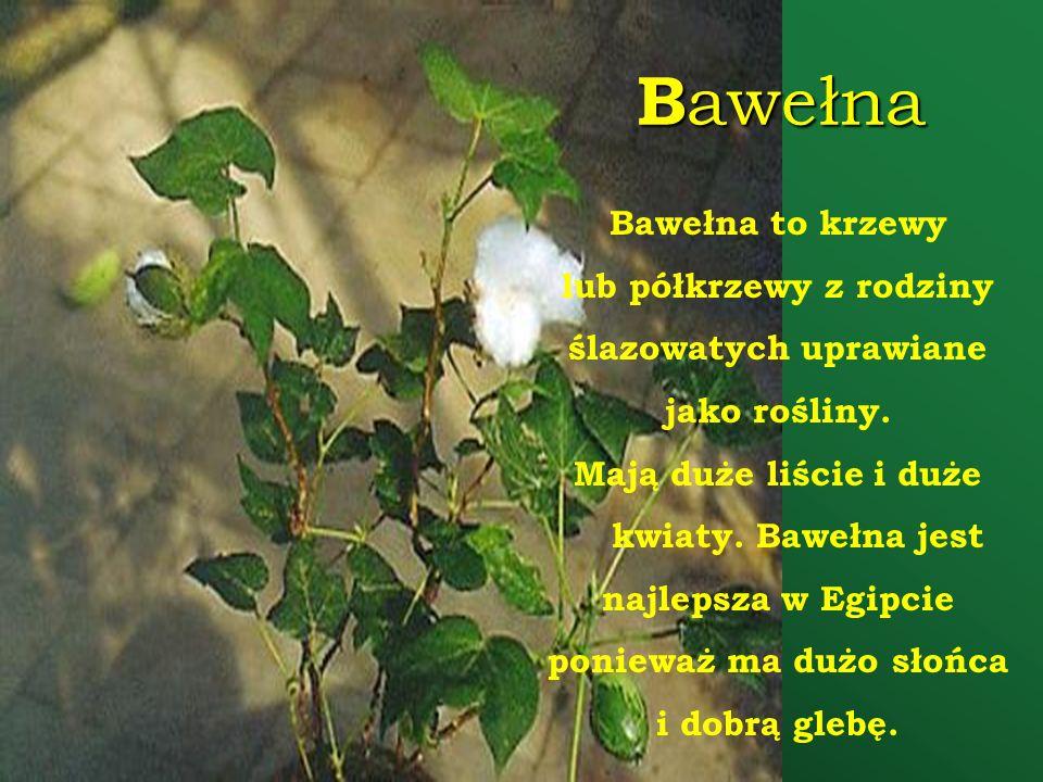B awełna Bawełna to krzewy lub półkrzewy z rodziny ślazowatych uprawiane jako rośliny. Mają duże liście i duże kwiaty. Bawełna jest najlepsza w Egipci