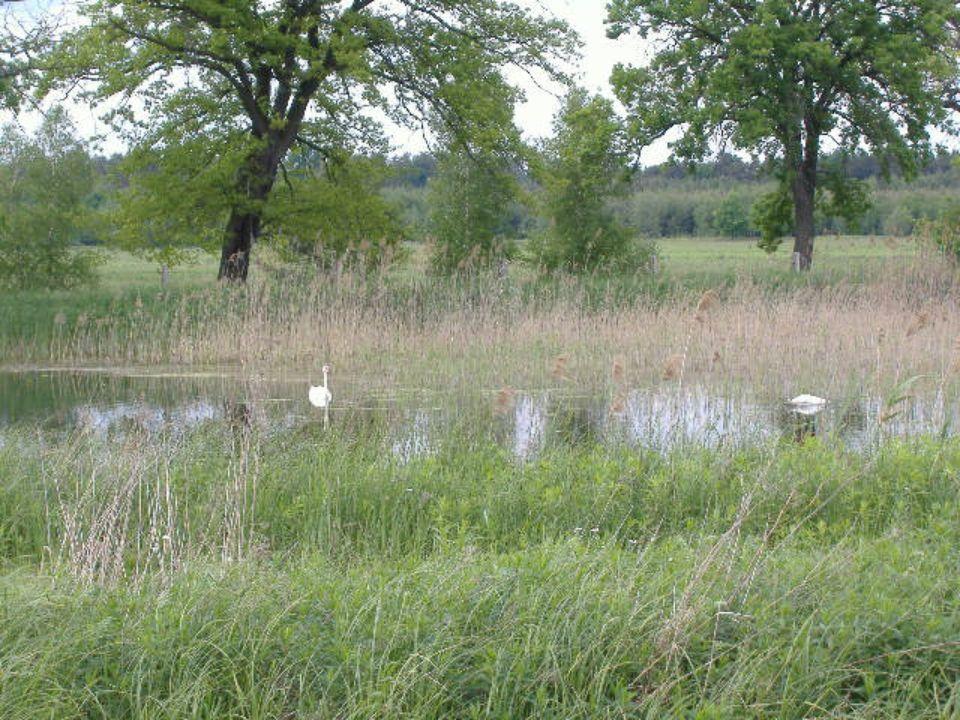 Łabędzie należą do najcięższych ptaków gniazdujących w Polsce.