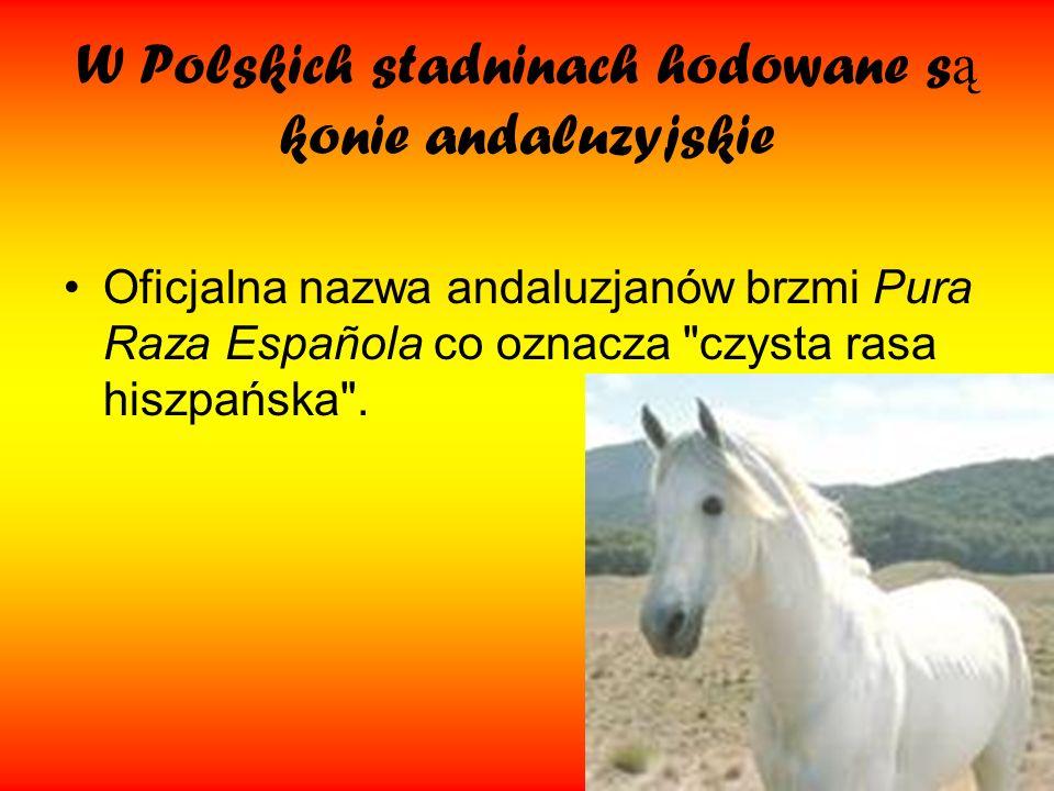 W Polskich stadninach hodowane s ą konie andaluzyjskie Oficjalna nazwa andaluzjanów brzmi Pura Raza Española co oznacza