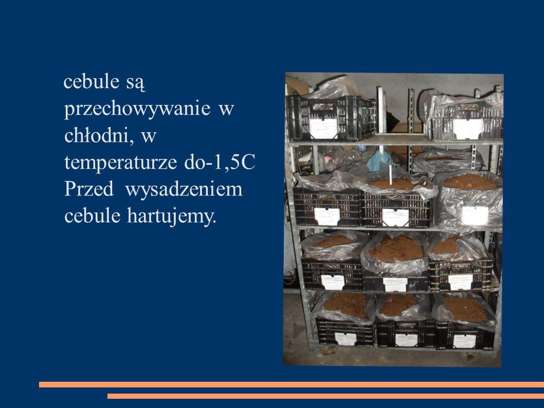cebule są przechowywanie w chłodni, w temperaturze do-1,5C Przed wysadzeniem cebule hartujemy.