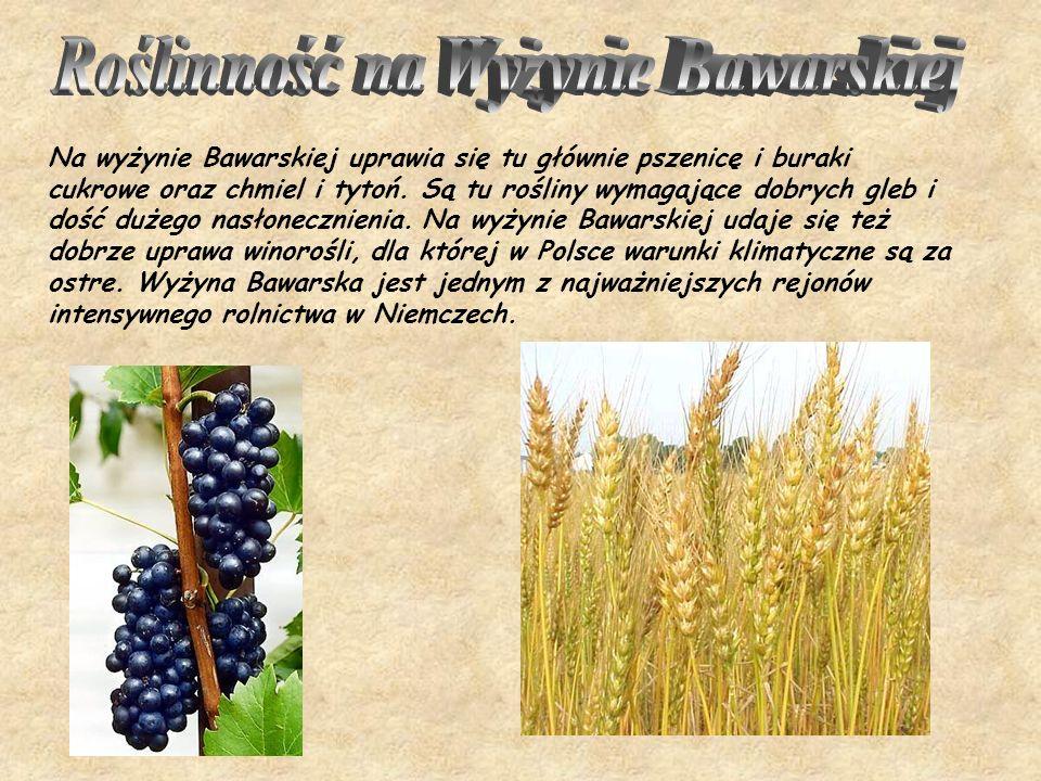 Na wyżynie Bawarskiej uprawia się tu głównie pszenicę i buraki cukrowe oraz chmiel i tytoń. Są tu rośliny wymagające dobrych gleb i dość dużego nasłon