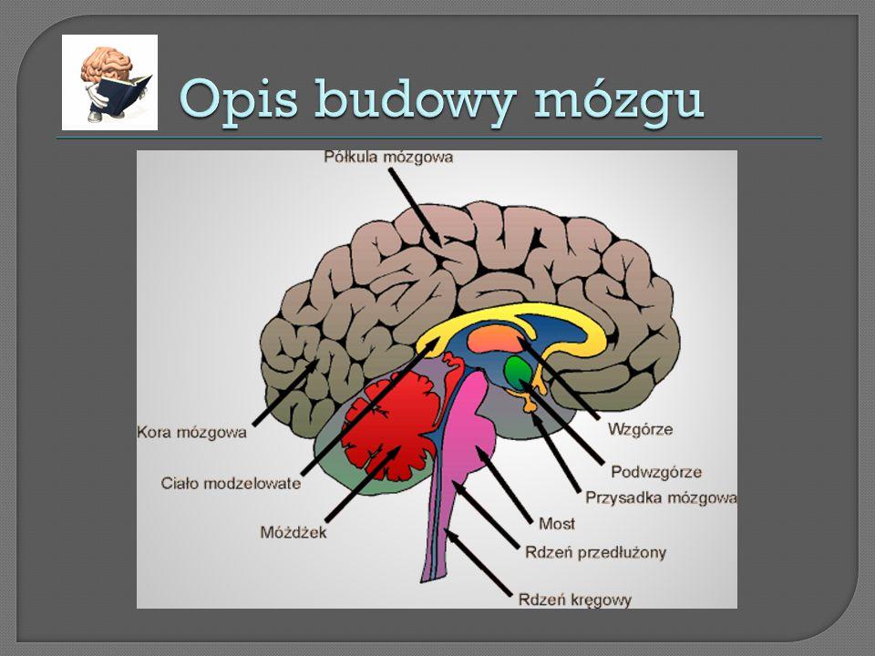Mózg - cz ęść o ś rodkowego uk ł adu nerwowego le żą ca w czaszce. Jest to najbardziej z ł o ż ony narz ą d cz ł owieka. Stopie ń jego rozwoju prawdop