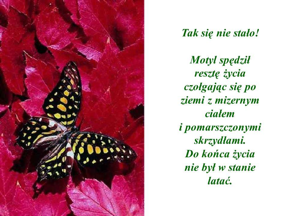 Tak się nie stało! Motyl spędził resztę życia czołgając się po ziemi z mizernym ciałem i pomarszczonymi skrzydłami. Do końca życia nie był w stanie la
