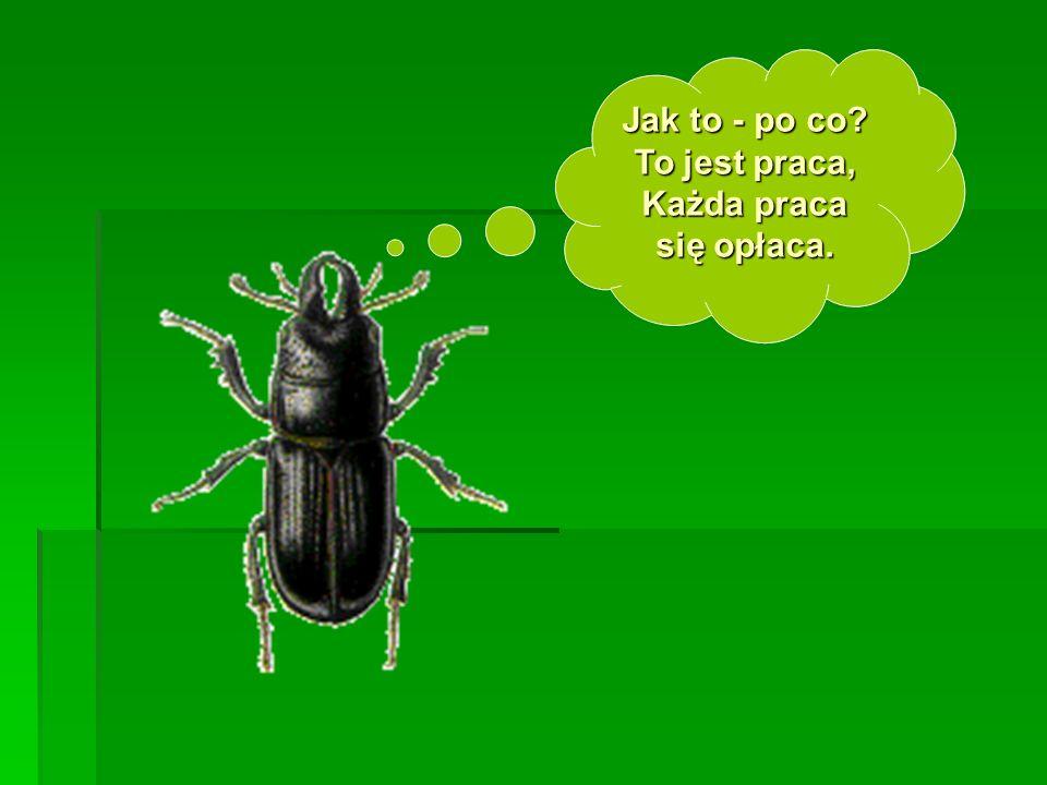 Lecz nie zastał chrząszcza w trzcinie, Bo chrząszcz właśnie brzęczał w Pszczynie.