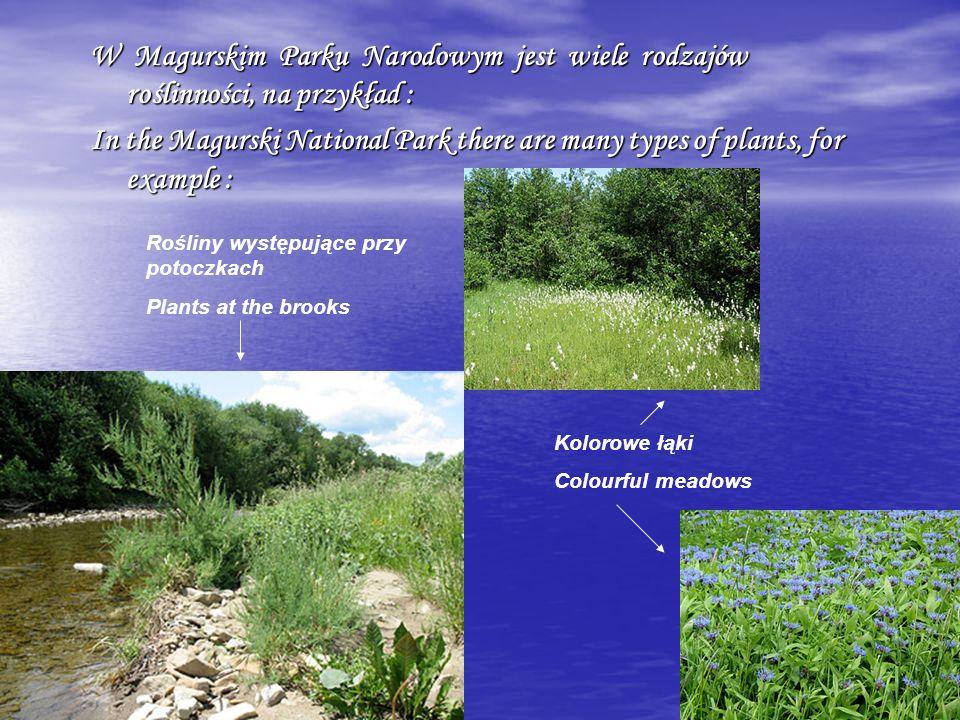 W Magurskim Parku Narodowym jest wiele rodzajów roślinności, na przykład : In the Magurski National Park there are many types of plants, for example : Rośliny występujące przy potoczkach Plants at the brooks Kolorowe łąki Colourful meadows