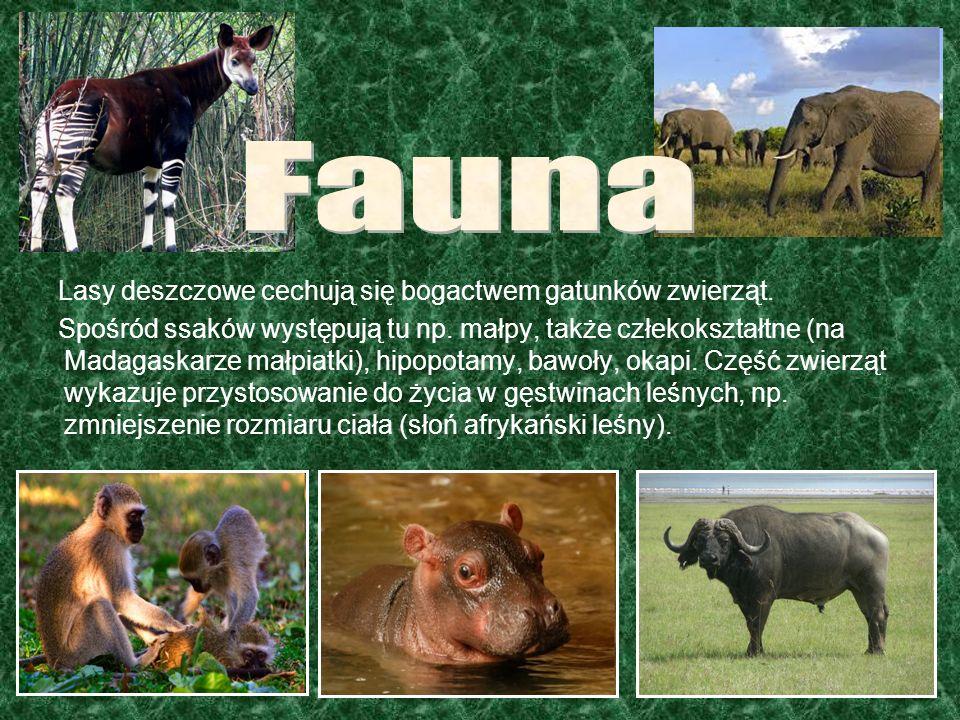 Lasy deszczowe cechują się bogactwem gatunków zwierząt. Spośród ssaków występują tu np. małpy, także człekokształtne (na Madagaskarze małpiatki), hipo