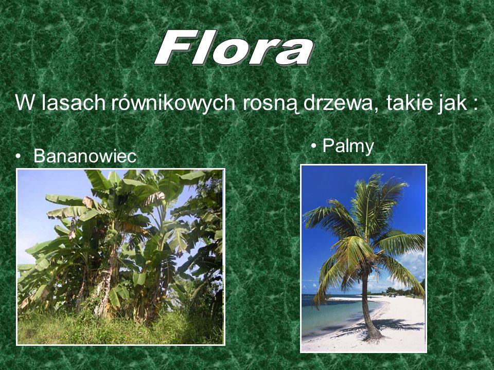 W lasach równikowych rosną drzewa, takie jak : Bananowiec Palmy
