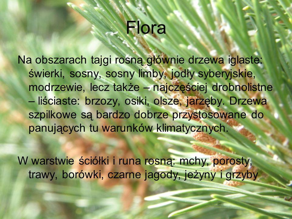 Flora Na obszarach tajgi rosną głównie drzewa iglaste: świerki, sosny, sosny limby, jodły syberyjskie, modrzewie, lecz także – najczęściej drobnolistn