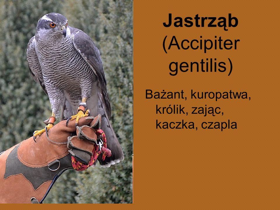 Jastrząb (Accipiter gentilis) Bażant, kuropatwa, królik, zając, kaczka, czapla