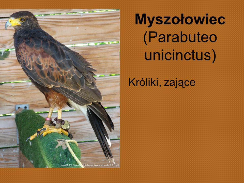 Myszołowiec (Parabuteo unicinctus) Króliki, zające