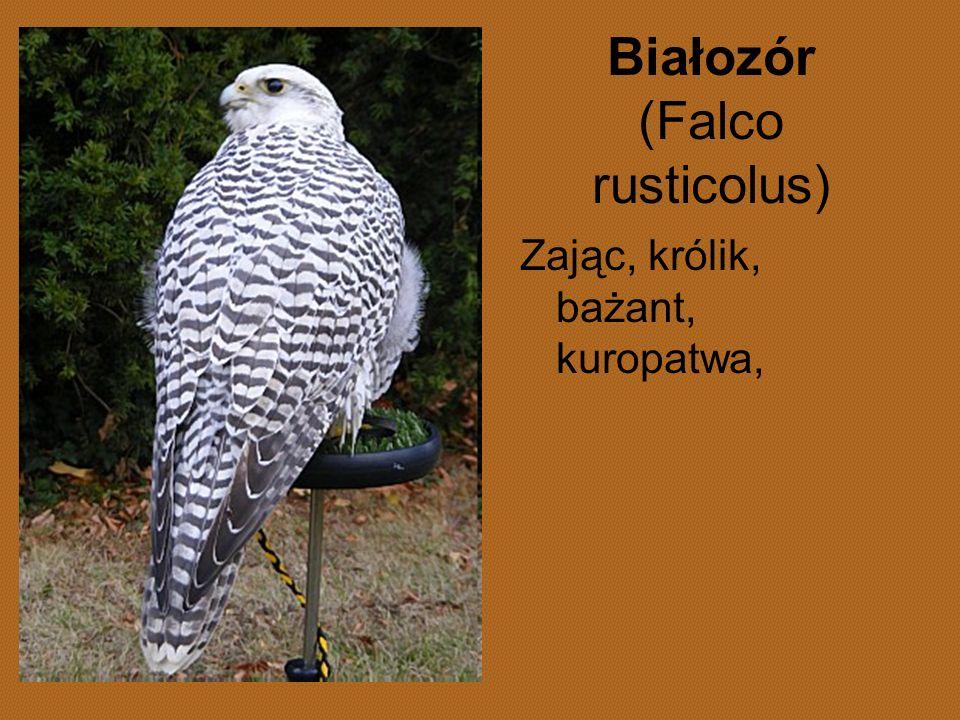 Białozór (Falco rusticolus) Zając, królik, bażant, kuropatwa,