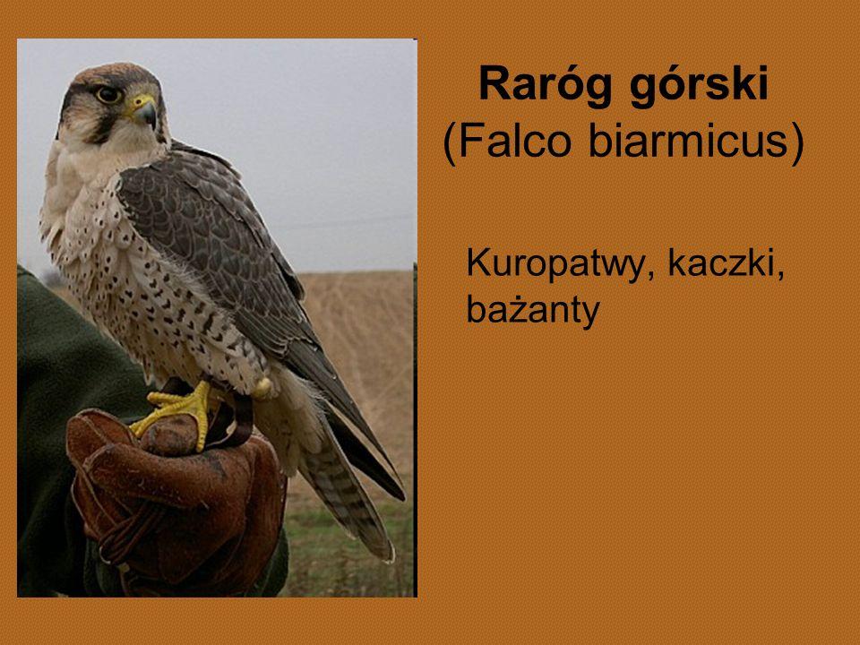 Raróg górski (Falco biarmicus) Kuropatwy, kaczki, bażanty