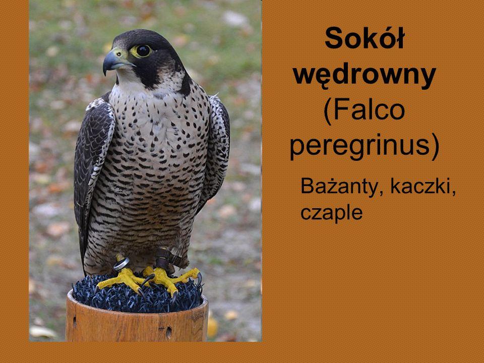 Sokół wędrowny (Falco peregrinus) Bażanty, kaczki, czaple