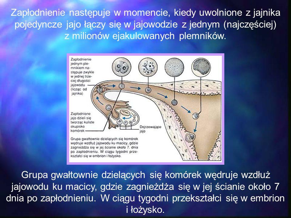 Zapłodnienie następuje w momencie, kiedy uwolnione z jajnika pojedyncze jajo łączy się w jajowodzie z jednym (najczęściej) z milionów ejakulowanych pl