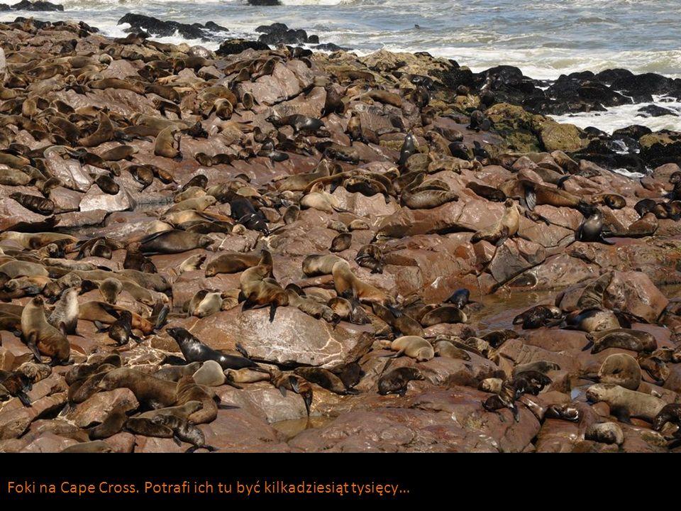 Foki na Cape Cross. Potrafi ich tu być kilkadziesiąt tysięcy…