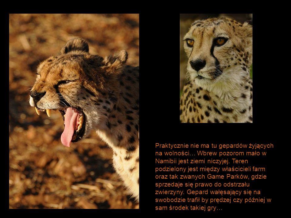 Praktycznie nie ma tu gepardów żyjących na wolności… Wbrew pozorom mało w Namibii jest ziemi niczyjej. Teren podzielony jest między właścicieli farm o