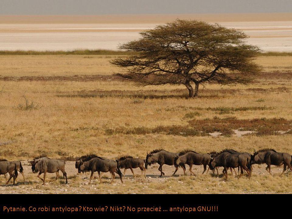 Pytanie. Co robi antylopa? Kto wie? Nikt? No przecież … antylopa GNU!!!
