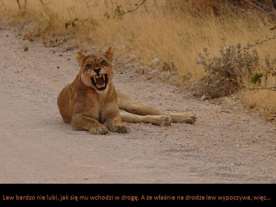 Lew bardzo nie lubi, jak się mu wchodzi w drogę. A że właśnie na drodze lew wypoczywa, więc…