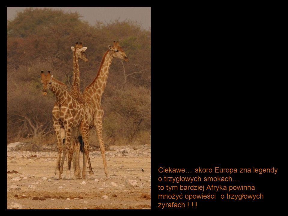 Ciekawe… skoro Europa zna legendy o trzygłowych smokach… to tym bardziej Afryka powinna mnożyć opowieści o trzygłowych żyrafach ! ! !