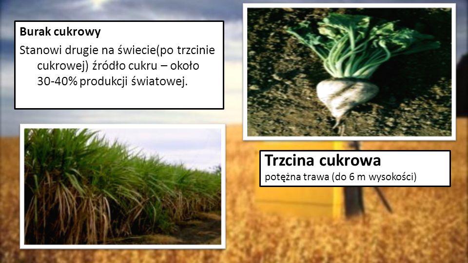Burak cukrowy Stanowi drugie na świecie(po trzcinie cukrowej) źródło cukru – około 30-40% produkcji światowej. Trzcina cukrowa potężna trawa (do 6 m w