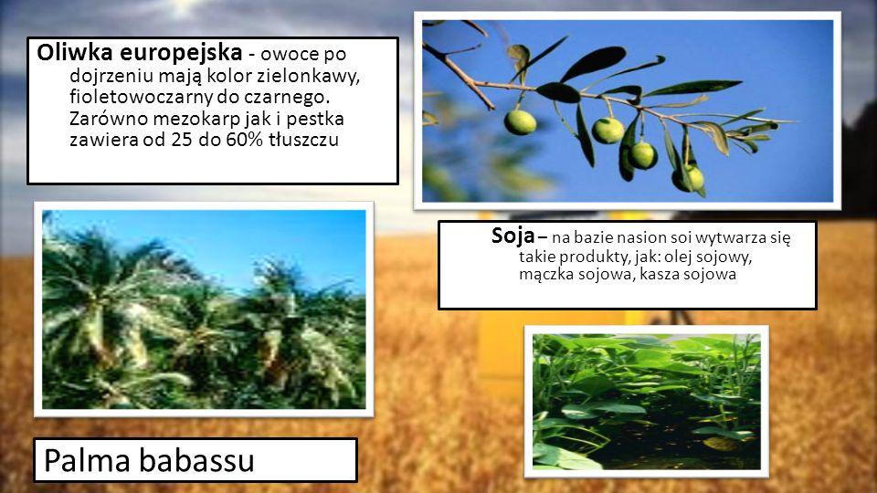 Palma babassu Oliwka europejska - owoce po dojrzeniu mają kolor zielonkawy, fioletowoczarny do czarnego. Zarówno mezokarp jak i pestka zawiera od 25 d