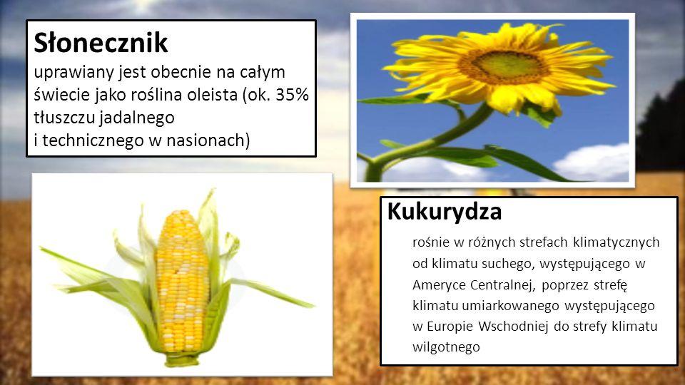 Kukurydza rośnie w różnych strefach klimatycznych od klimatu suchego, występującego w Ameryce Centralnej, poprzez strefę klimatu umiarkowanego występu